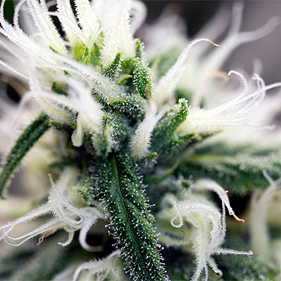 trichome production