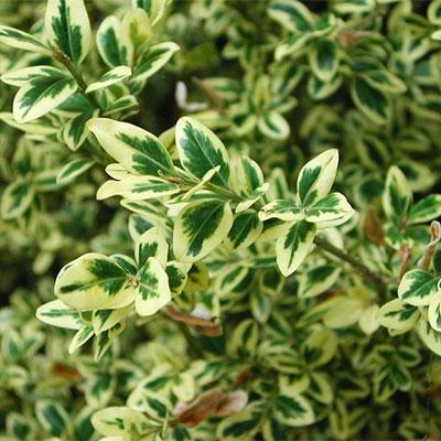 Variegated shrub