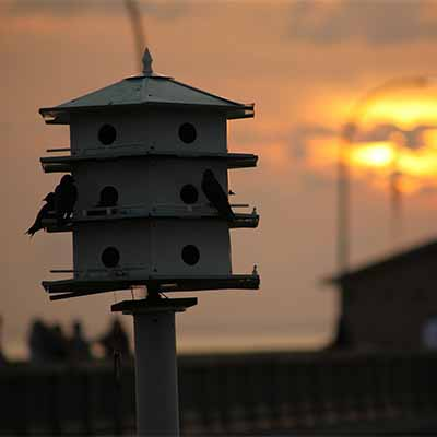 Learn how to attract purple martin birds to your backyard | SocialGazelle.com