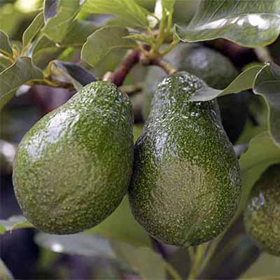 How to Grow Avocados in your Yard by Gretchen Heber | SocialGazelle.com
