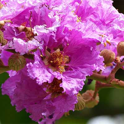 Get tips and tricks for properly trimming crape myrtle trees | SocialGazelle.com