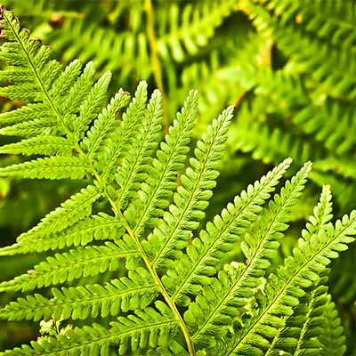 Learn how to grow ferns in your back yard | SocialGazelle.com