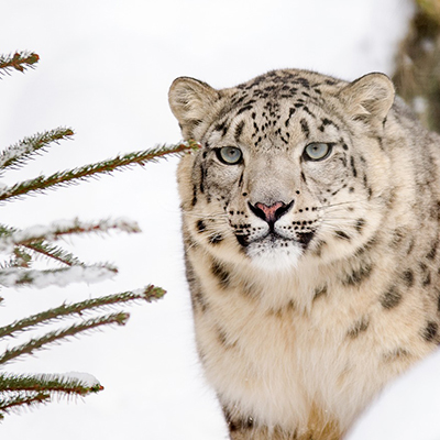 Snow Leopard Days article by Gretchen Heber   SocialGazelle.com
