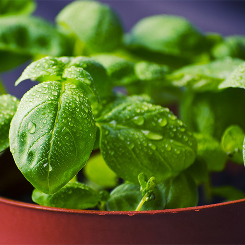Read about basil downey mildew and how to prevent it in this article by Gretchen Heber